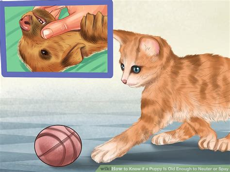 how to neuter a how to if a puppy is enough to neuter or spay 7 steps