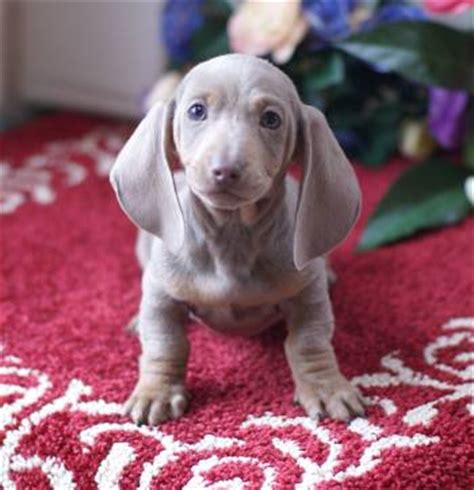 blue dachshund puppies for sale mgm dachshunds past sold puppies dachshund breeder dachshund puppies for sale