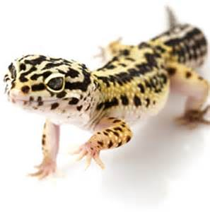 10 interesting leopard gecko facts my interesting facts