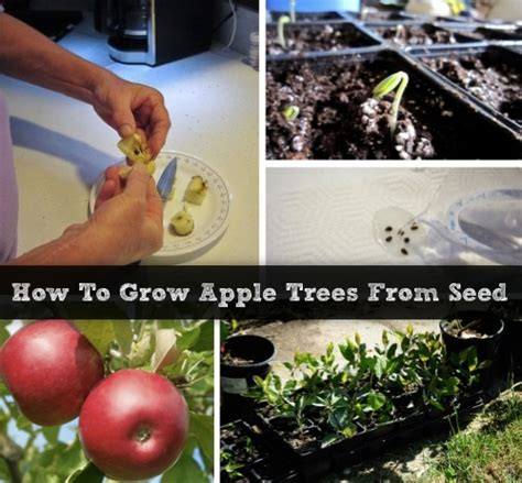 how to grow your own apple trees from seeds homestead survival