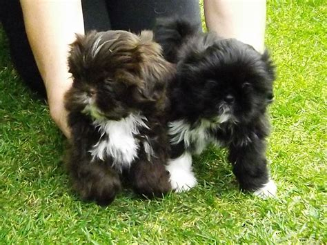 adorable shih tzu puppies home imperial line shih tzu puppies hull east of pets4homes