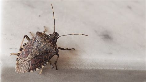 how to get rid of stink bugs in my house how to get rid of stink bugs and prevent them from coming back realtor com 174
