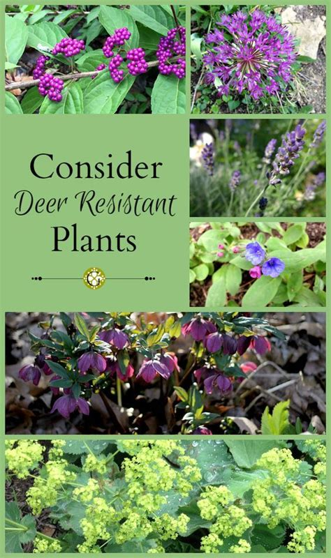 pin by mike wilczynski on deer resistant plants pinterest deer resistant plants deer and plants on pinterest
