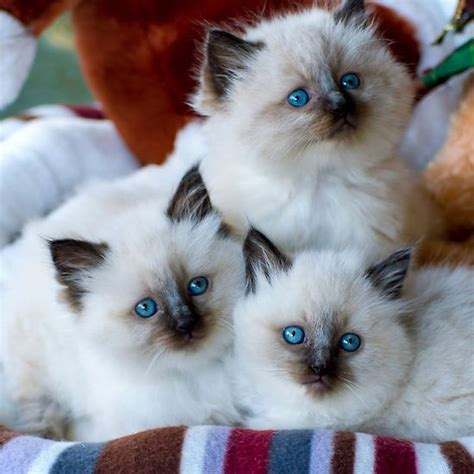 3 year ragdoll cats yes i a kitten cat in a few years hopefully