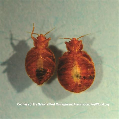 terminix bed bugs cost terminix bed bugs 28 images what bed bugs look like and helpful advice terminix