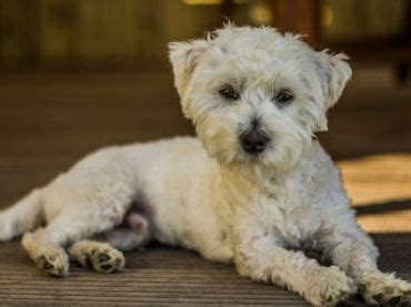 yorkie vs morkie terrier vs maltese about animals