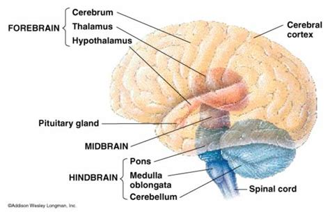 three main sections of the brain primer structure of the brain linsenbardt net