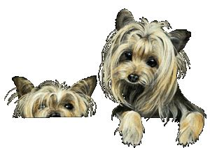 low blood sugar in yorkies hypoglycemia yorkie