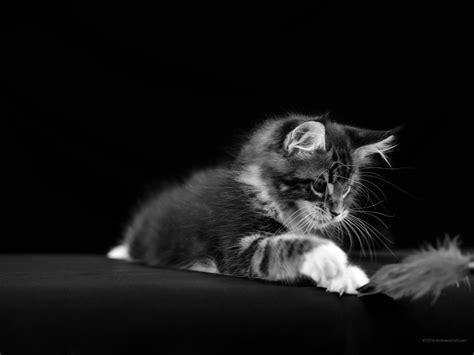 imagenes blanco y negro gratis 2048 x 1536 maine coon en blanco y negro hermosos fondos de