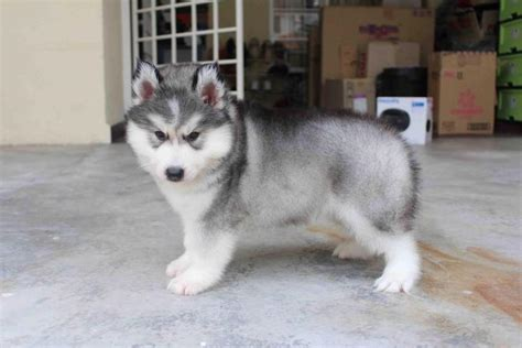 wooly husky puppy siberian husky puppy sold 1 month coating wooly husky puppy from subang jaya