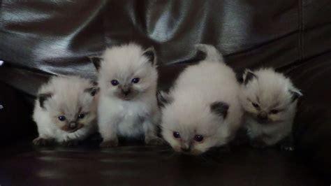ragdoll kittens for sale ragdoll kittens for sale accrington lancashire pets4homes