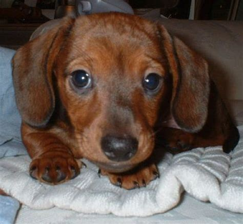 how much are dachshund puppies brown miniature dachshund puppy pictures jpg 7 comments