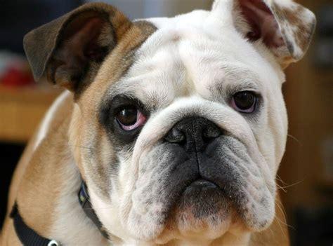 imagenes artisticas de animales fotos de razas de perros perrosamigos com