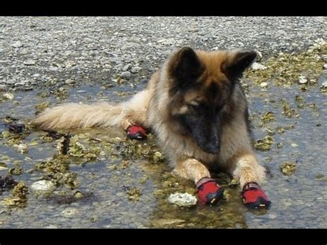 dogs wearing shoes dogs try booties for the time funnydog tv