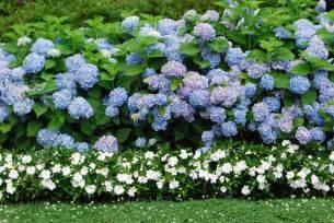 nikko blue hydrangeas dirt simple