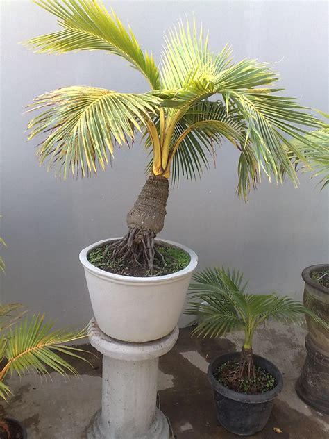 Cari Bibit Kelapa Hibrida bonsai kelapa mini bonsai kelapa dijual