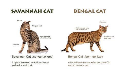savannah house cat f1 savannah cat vs bengal cat comparison in size