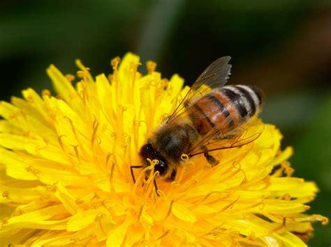 honeybee science buzz