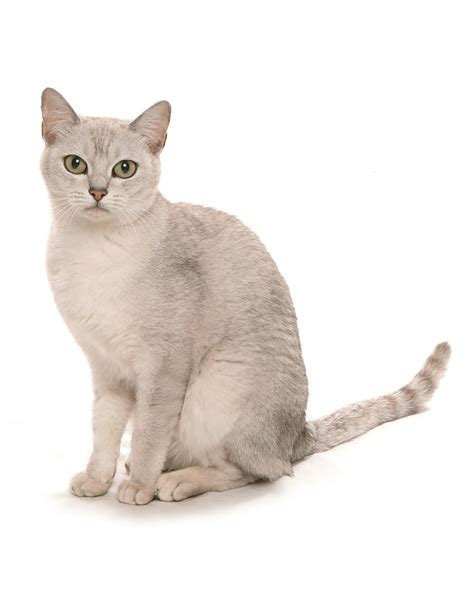 cat breed cat breeds the burmilla cat characteristics and