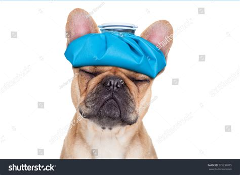 can dogs get headaches bulldog with headache and hangover with bag or pack on