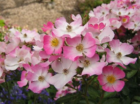 desktop flower wallpapers beautiful flower wallpapers