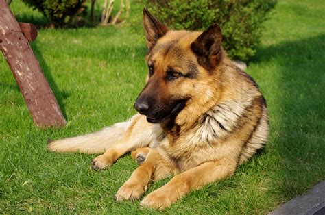 german shepherd puppie file 20110425 german shepherd 8473 jpg