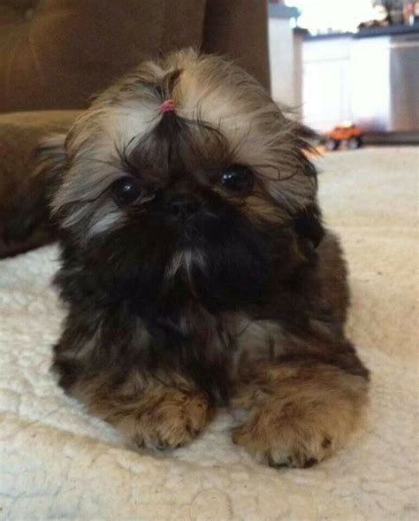 bayview shih tzu 461 best images about gotta another shih tzu on puppys baby shih
