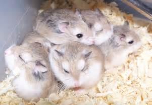 Cps7amazinganimals hamster