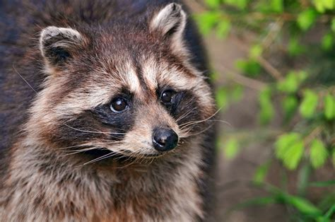the best ways to repel raccoons abc humane wildlife