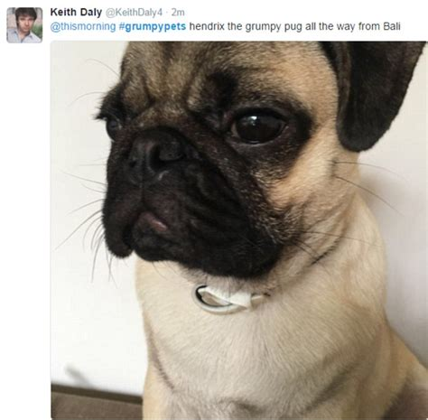 grumpy pug this morning viewers hilarious photos of their grumpy pets daily mail