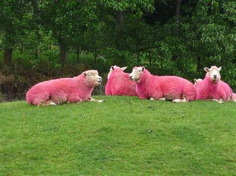 Sheep Pink pink sheep at sheepworld warkworth nz picture of sheepworld warkworth tripadvisor