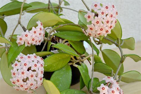 foto piante da interno piante da interno profumate resistenti e