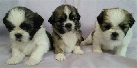 shih tzu litter shih tzu puppies litter of 8 st agnes isles of scilly pets4homes