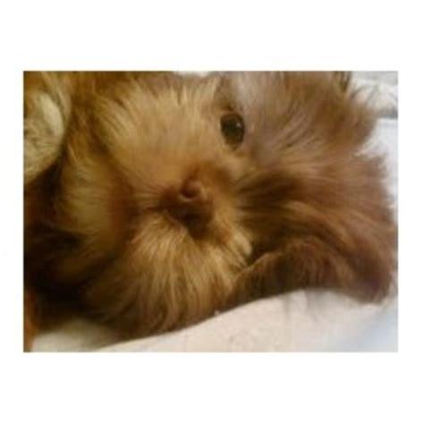 shih tzu columbia sc playful pups for you shih tzu breeder in augusta south carolina listing id