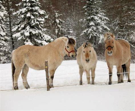fjord mask norwegian fjord horses norwegian fjords pinterest heste