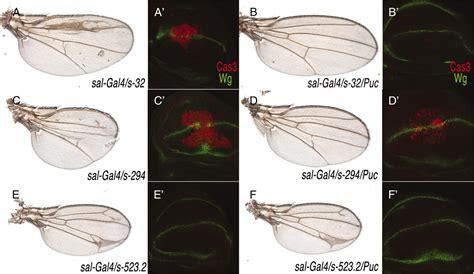 pattern formation in the drosophila wing the development of the veins a gain of function screen identifying genes required for