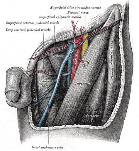 lacuna dei vasi superficial epigastric artery