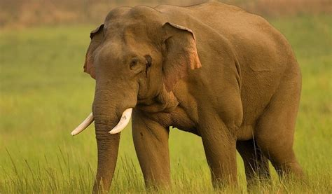 asian elephant facts weight habitat diet life cycle