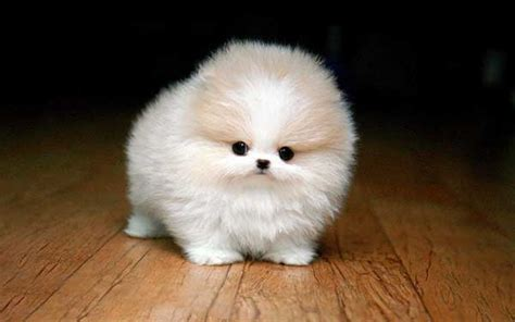 teacup pomeranian health the teacup pomeranian does it exist and if so it is a pet