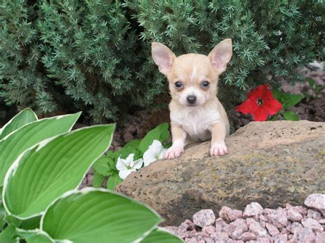 chihuahua puppies for sale in missouri missouri shih tzu puppies for sale mo papillon puppies breeder chihuahua puppy