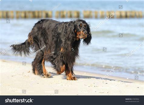 gordon setter hunting dog gordon setter hunting dog female on the beach stock photo