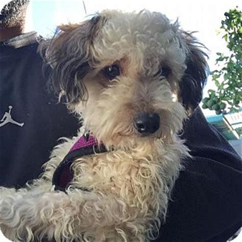 miniature poodle and yorkie mix cinnamon adopted ca miniature poodle yorkie terrier mix