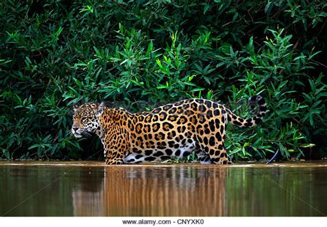 jaguar water jaguar in water stock photos jaguar in water stock