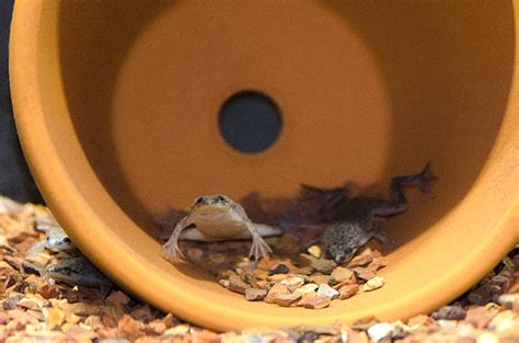 Feeding Frog proper feeding of frogs understanding your