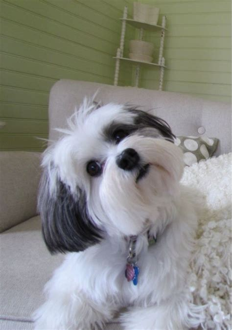 best grooming tools for shih tzu how to trim a shih tzu