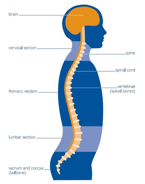 central nervous system diagram s articulations an journal chronicling my