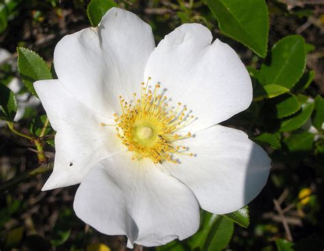official state flowers georgia state flower cherokee rose