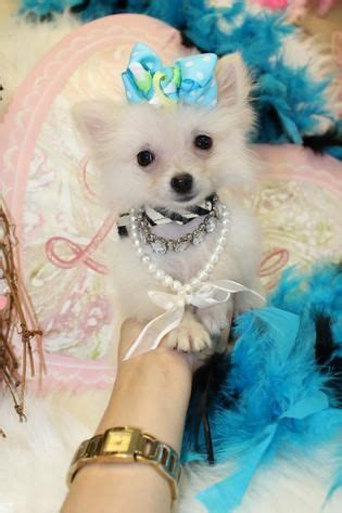 teacup pomeranians for sale in florida 1000 images about teacup pomeranian puppies for sale on