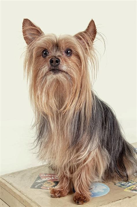 yorkie puppy size size and weight of terrier many