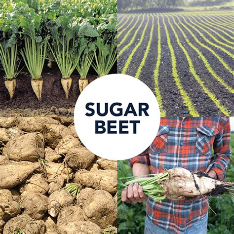 is sugar bad for dogs is sugar beet bad for my tails